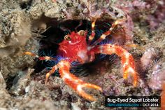 "Bug-Eyed Squat Lobster a.k.a. ""RoboCon"" – one of our favorite critters. This female is carrying eggs (white) under its mouth. This photograph was taken diving in Dumaguete, Negros Oriental Is., Philippines and is the featured critter for October 2014. Length: 3/4"""