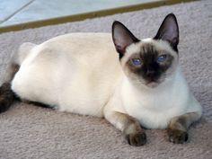 Siamese Cats Personality