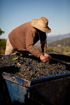 Harvest at Rodney Strong Vineyards, Sonoma County, CA  Love this wine!!!!