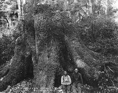 A tree 9 feet at cut, over 20 feet at ground, Camp 3-A, near Toledo, Oregon 1918