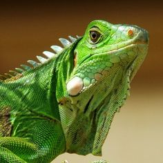 Green Iguana (by 2mag7- Non-stop Catching Up)