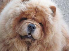 cute by tricia Mr Chow, Chow Chow Dogs, Chow Puppies, All Dogs, Dogs And Puppies, My Best Friend, Best Friends, Lion Dog, Animal Pictures