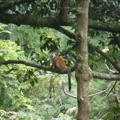 Red Titi monkey, Quepos Costa Rica