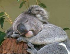 KoalaStop by the hairdresser  makes you tired up....