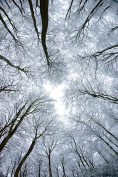 Trees in Snow by =pnewbery