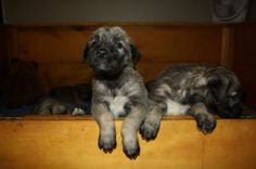 Irish Wolfhounds - The Symbol of Celtic Splendor - Mississauga / Peel Region Dogs & Puppies For Sale - Kijiji Mississauga / Peel Region Canada.