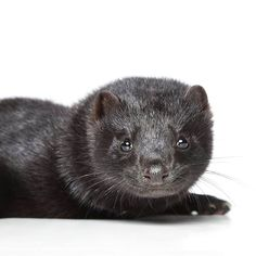 """Horrifying footage from several Canadian fur farms – including mink farms in British Columbia – has been released by the Association for the Protection of Fur-Bearing Animals. The footage shines the light on the """"inherently inhumane"""" fur farming industry. http://www.spca.bc.ca/news-and-events/news/news-fur-farming.html  Remember, the best way to stop fur farming is to say """"no"""" to all fur products including clothing, accessories with trim, and animal oils."""