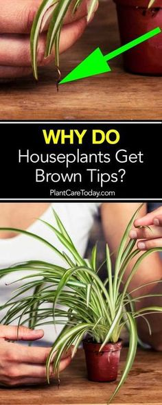 Brown Tips on #houseplants Leaves - A Reason Why!