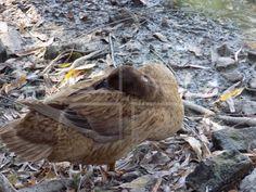 Duck Bird, Animals, Animales, Animaux, Birds, Animal, Animais