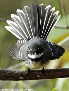 Fantail or Piwakawaka, my absolute favourite native New Zealand bird. So many of… Fantail or Piwakawaka, my absolute favourite native New Zealand bird. Pretty Birds, Love Birds, Beautiful Birds, Animals Beautiful, Cute Animals, Small Birds, Little Birds, Colorful Birds, Vogel Gif