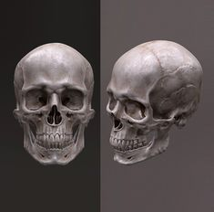 This is a personal project, the aim is to sculpt a male human skull, completely by hand, using the most authentic references I could find. Here's the result rendered in Marmoset. Human Skeleton Anatomy, Skull Anatomy, Head Anatomy, Anatomy Art, Anatomy Drawing, Skull Reference, Figure Reference, Anatomy Reference, Skull Model