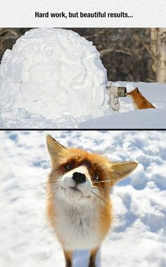 fox caught at the perfect moment. : Curious fox caught at the perfect moment.Curious fox caught at the perfect moment. : Curious fox caught at the perfect moment. Cute Funny Animals, Funny Animal Pictures, Cute Baby Animals, Animals And Pets, Cute Pictures, Animal Pics, Wild Animals, Funny Images, Cute Creatures