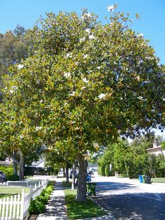 Magnolia grandiflora, southern magnolia is 60-80 feet zones 6(7) and can be damaged by winter and wind in northern areas. this densely branched evergreen tree has cinnamon brown 'felt' underneath the leaves and fragrant flowers with 6 tepals.