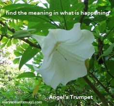 Angel's trumpet essence helps when we are trying to find the meaning in what is happening, when events around us literally boggle the mind-events that are so out of the ordinary that we don't even have the programming for them.