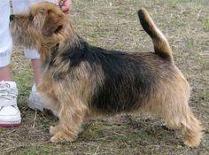 norfolk terriers - Google Search