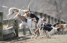 The hounds leap a fence as they stay close to the huntsman during the hunt.