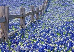 Texas in the spring...bluebonnets...no where else like it!