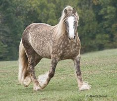 Villa Vanner's Sinead, a Gypsy Horse, displays the chocolate dapple coloration. Photo (c) Mark J. Barrett.