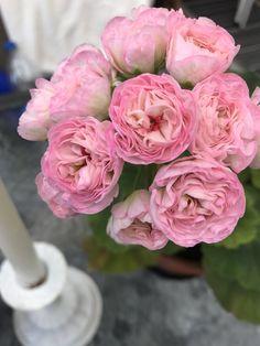Geraniums Garden, Anna, Rose, Flowers, Plants, Inspiration, Beauty, Gardens, Beautiful Flowers