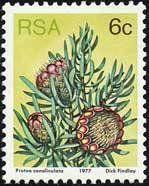 Groove-leaf sugarbush (Protea canaliculata)