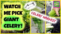 (WATCH) I'm Picking Some GIANT Heads of Celery! Harvesting Celery #gardening #garden #gardens #DIY #landscaping #home #horticulture #flowers #gardenchat #roses #nature