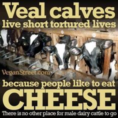 Pro vegan: veal calves live short tortured lives because people like to eat cheese; there is no place for male dairy cattle to go.