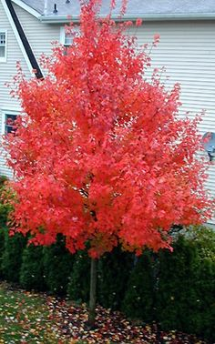 October Glory Maple. It grows 3-5 feetper year. It's mature height is40-50 ft. It's bred for it's bright red colors in the fall. There are a lot of different varieties of Maples. They all have unique qualities.
