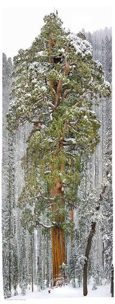 """The President"" la Sequoia Gigante (Sequoia National Park)"