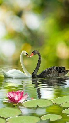 White and Black Swan. Hate to ruin the mood but are they just different colour morphs I wonder....