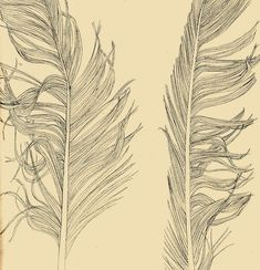 Feather illustration by Sophie Allen