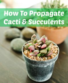 How To Propagate Cacti  Succulents — Apartment Therapy Tutorials