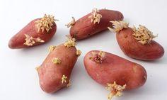 Vous serez ABASOURDI par la simplicité de ce truc... Empêchez vos patates de germer!