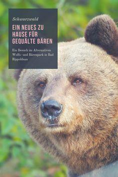 Der alternative Bärenpark im Schwarzwald ist ein etwas anderer Tierpark. Hier schaut man sich nur 3 Tierarten - Bären, Wölfe und Luchse - an, erfährt aber auch, was gerade der Mensch mit den Tieren so anstellt. Jeder der 11 Bären dort hat ein Schicksal - als Tanz-, Selfie- oder Kampfbär. Hier können die Tiere ein neues, artgerechtes Leben genießen. Mich hat der Besuch nachdrücklicher beeindruckt als jeder andere Zoo oder Tierpark Reisen In Europa, Brown Bear, Wanderlust, German, Animals, Inspiration, Travel, Zoological Garden, European Travel
