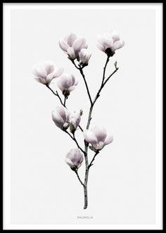 Magnolia, poster. Poster med fotografi på Magnolia. Fin poster/tavla med botaniskt fotografi på en magnolia blomma. Postern har grå bakgrund med en vit kant. Matchar fint med vår andra botaniska tavla med fotografi på en lotusblomma i samma serie, passar också väldigt fint med våra texttavlor med fina citat.