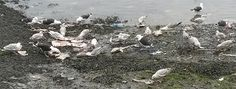 """Seagulls eating discarded bait in Kinsale, one of the most popular ports for visitors to Ireland — but Derek Mitchell thinks it """"too smelly"""" and a mess!"""