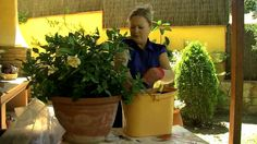 Transplantar una gardenia