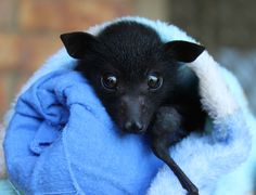 Flying foxes Foxfain and the call of the wild
