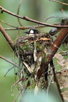 naturesamazingpaintbox: White-Faced Robin at Nest by Myron Tay - Birds All Birds, Little Birds, Love Birds, Pretty Birds, Beautiful Birds, Nester, Animals And Pets, Cute Animals, Tier Fotos