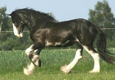Clydesdale - What a beauty!