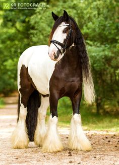 A baby Clydesdale>