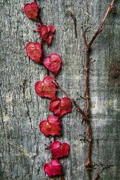 Red leaves hearts.