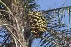 Macaúba (Acrocomia aculeata)
