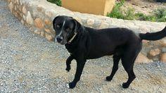 Blue fue encontrado en el campo en Andalucía con una rotura en la cadera. Llegó a nuestra clínica para operarlo y ocuparnos de su recuperación. Ahora está operado y recuperado y le buscamos una buena familia para él.  Tiene alrededor de los 2 años y es un amor. Se lleva bien con perros y niños. Con gatos no sabemos. CONTACTO: animalrescue.org@gmail.com - 615 690 622 - 646 659 511
