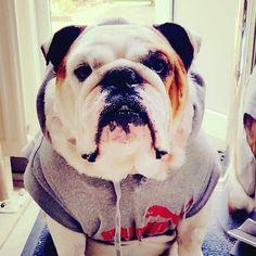 Brutus the Dutch English Bulldog