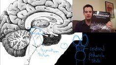 Physiological psychology brain midbrain tectum music videos for in this video i continue covering parts of the brain explaining regions of the midbrain ccuart Gallery