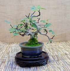 fig carica bonsai | ficus carica bonsai.jpg