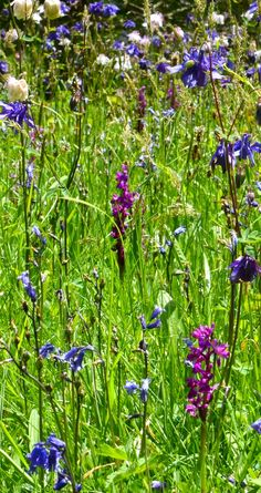 Early purple #orchids at #Glendurgan in #spring. Every year we try and count them all - it's always in the hundreds. #wildflowers #Cornwall