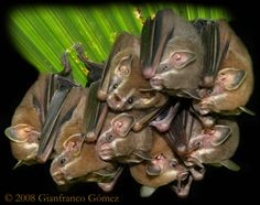 Tent-making Bats are nocturnal mammals of Drake Bay, Costa Rica, commonly observed on The Night Tour with Tracie the Bug Lady. Nocturnal Mammals, Megabat, All Bat, Insect Species, Crows Ravens, San Diego Zoo, All About Animals, Creatures Of The Night, Lemur