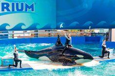 Lolita, a orca que completa 50 anos de solidão e não há nada a festejar - GreenMe.com.br Dangerous Animals, Reality Of Life, Animal Facts, All Gods Creatures, Killer Whales, Sea World, Natural Disasters, Animal Rights, Your Pet