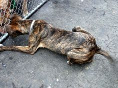 SAFE --- URGENT - Manhattan Center    ASIA - A0993155   *** SAFER: NH ONLY ***   FEMALE, BR BRINDLE, PIT BULL / GERM SHEPHERD, 8 mos  STRAY - STRAY WAIT, NO HOLD Reason STRAY   Intake condition NONE Intake Date 03/05/2014, From NY 10460, DueOut Date 03/08/2014,  https://www.facebook.com/photo.php?fbid=768756756470539&set=a.617938651552351.1073741868.152876678058553&type=3&permPage=1